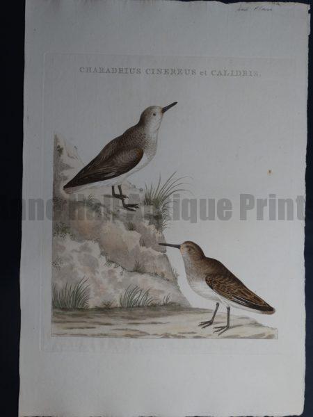 Nozeman Chardius Cinereus et Calidris 18th Century Hand Colored Copper Plate Engraving on Hand Made Rag Paper