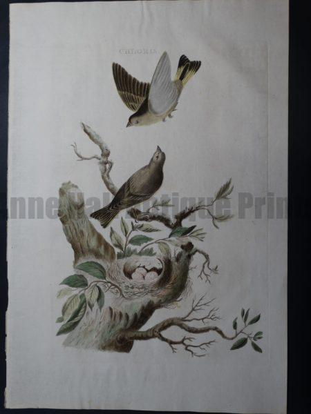 Nozeman Chloris Rare 18th Century Hand Colored Copper Plate Engraving on Hand Made Rag Paper