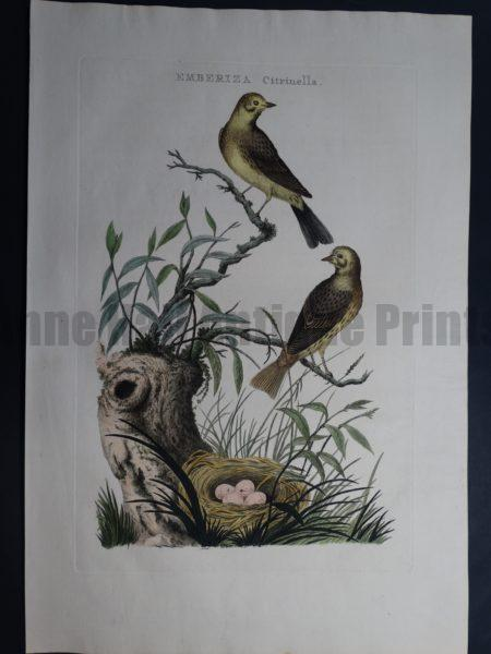 Nozeman Emberiza Citrinella. Rare 18th Century Hand Colored Copper Plate Engraving on Hand Made Rag Paper.