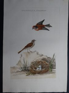Nozeman Fringilla Cannabina. Rare 18th Century Hand Colored Copper Plate Engraving on Hand Made Rag Paper.