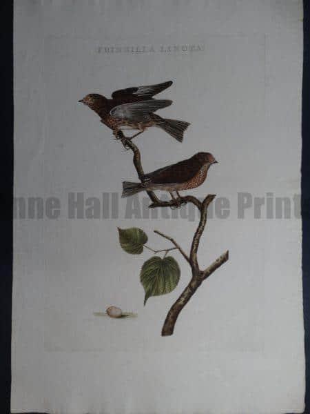Nozeman Fringilla Linota. Rare 18th Century Hand Colored Copper Plate Engraving on Hand Made Rag Paper.