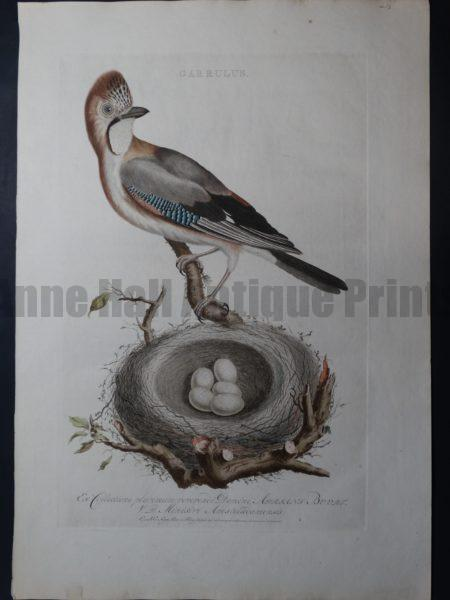 Nozeman Garrulus. Rare 18th Century Hand Colored Copper Plate Engraving on Hand Made Rag Paper.