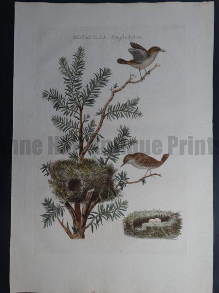 Nozeman Motacilla Troglodytes Rare 18th Century Hand Colored Copper Plate Engraving on Hand Made Rag Paper