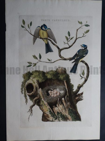 Nests Eggs Nozeman Parus Caeruleus. Rare 18th Century Hand Colored Copper Plate Engraving on Hand Made Rag Paper.