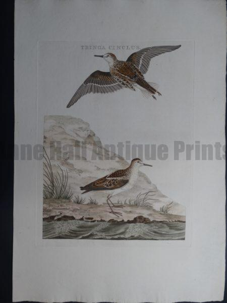 Nozeman Tringa Cinclus. Rare 18th Century Hand Colored Copper Plate Engraving on Hand Made Rag Paper.