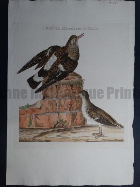 Nozeman Tringa Macularia et Varia Rare 18th Century Hand Colored Copper Plate Engraving on Hand Made Rag Paper
