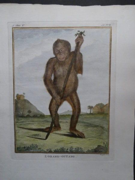 Orang Outang Monkey