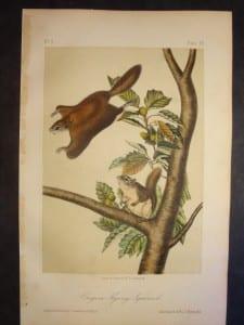 Oregon Flying Squirrel
