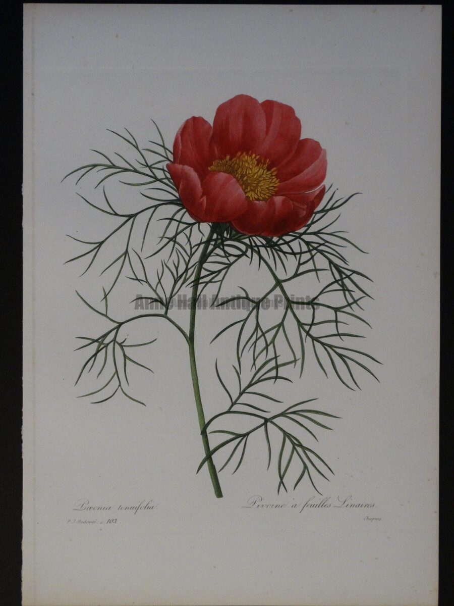 P.J. Redoute -103 Paeonia tenufolia or Pivoine a feulled Linaires Chapuy