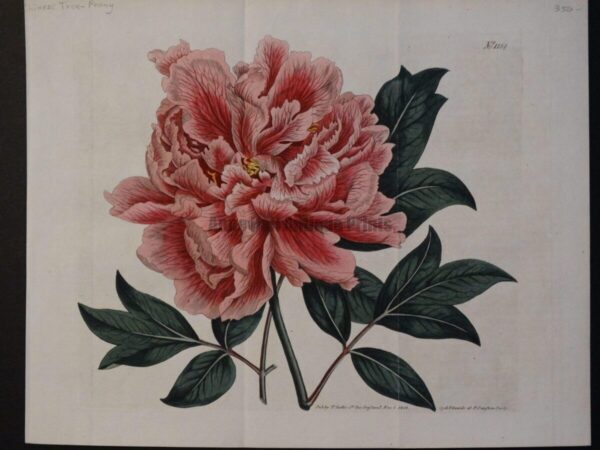 Chinese Tree Peony by Thomas Curtis St. Geo Crescent. Published Nov 1 1808. Syd. Edwards F Sansom Sculp or engraver.