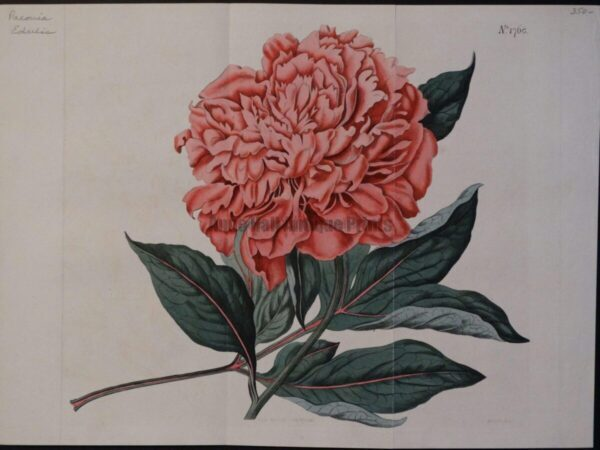 Decorative antique Paeonia edulus engraving over 200 years old. Large pink bloom or flower.
