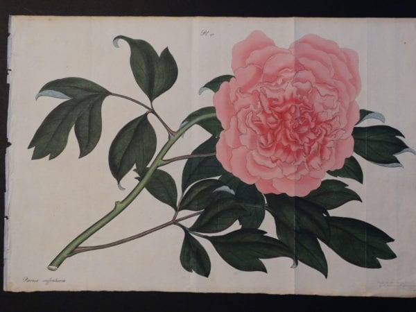 """Paeonies, by Henry Andrews, a rare English, hand-colored copper plate engraving, with stunning watercolors, on rag paper. Sourced 200 year old bookplate from the 1820's. 11x17"""" $600."""