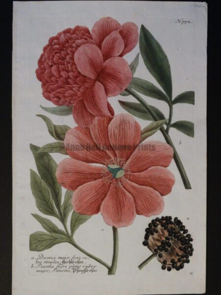 Weinmann Paeonies Plate 778. Wonderful 18th Century, hand-colored engraving Paeonies. This Johann Weinmann, antique engraving, is small folio, in excellent condition.  $850.