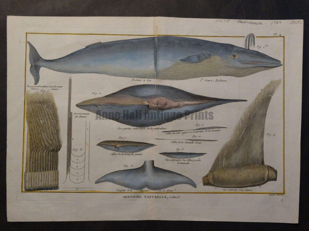 """18th century scientific bookplate engraving showing """"balene"""" or baleen whale anatomy."""