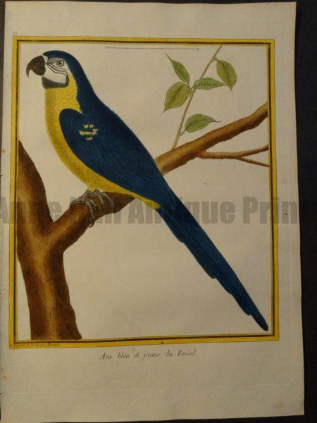 Parrot Martinet Ara Bleu et Jaune 35