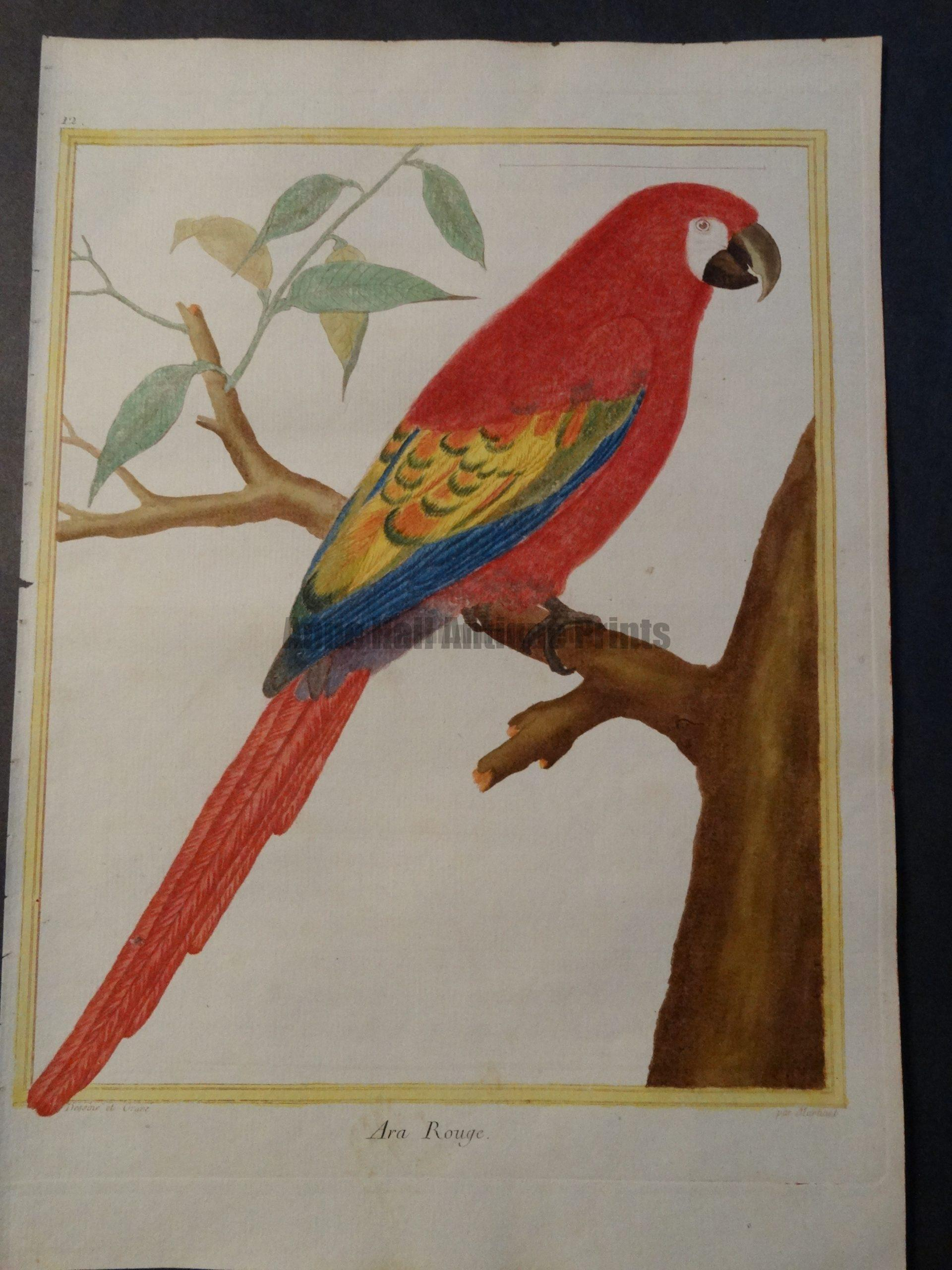 Parrot Martinet Ara Rouge 12. Coming from the rare French work on birds by Francois Martinet this Red or Scarlet Macaw is hand colored. Date 1770-1783 $950.
