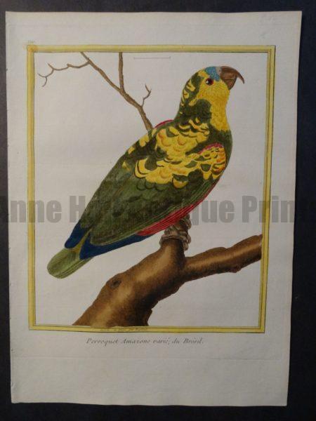 Parrot Martinet Perroquet Amazon