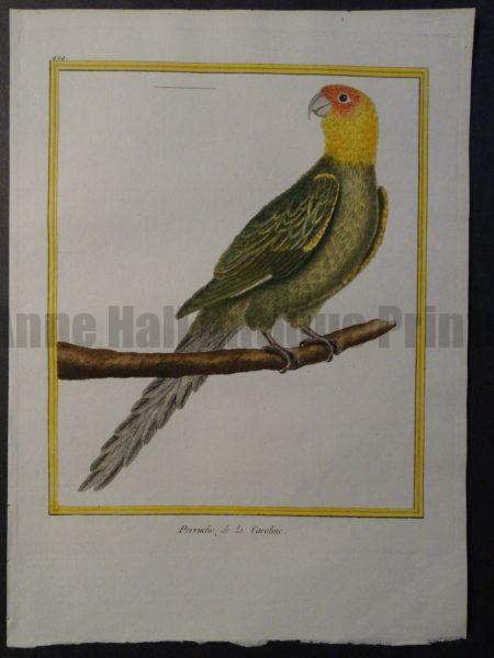 Parrot Martinet Perruche de la Caroline 499