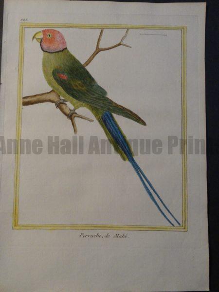 Parrot Martinet Perruche du Mahe Plate 888