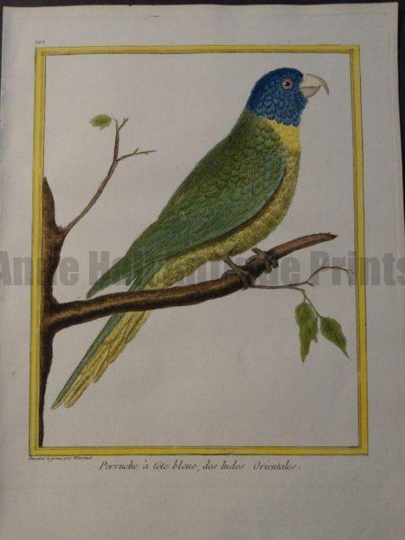 blue headed parrot
