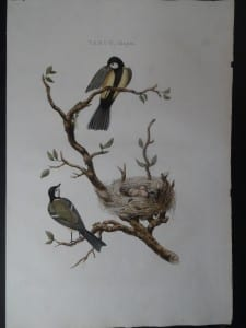 Parus, Major Nest and Eggs