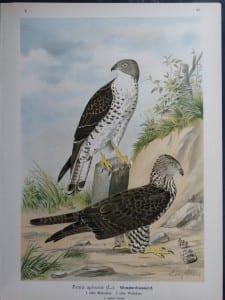 Pernis apivorus, 1895. $45.