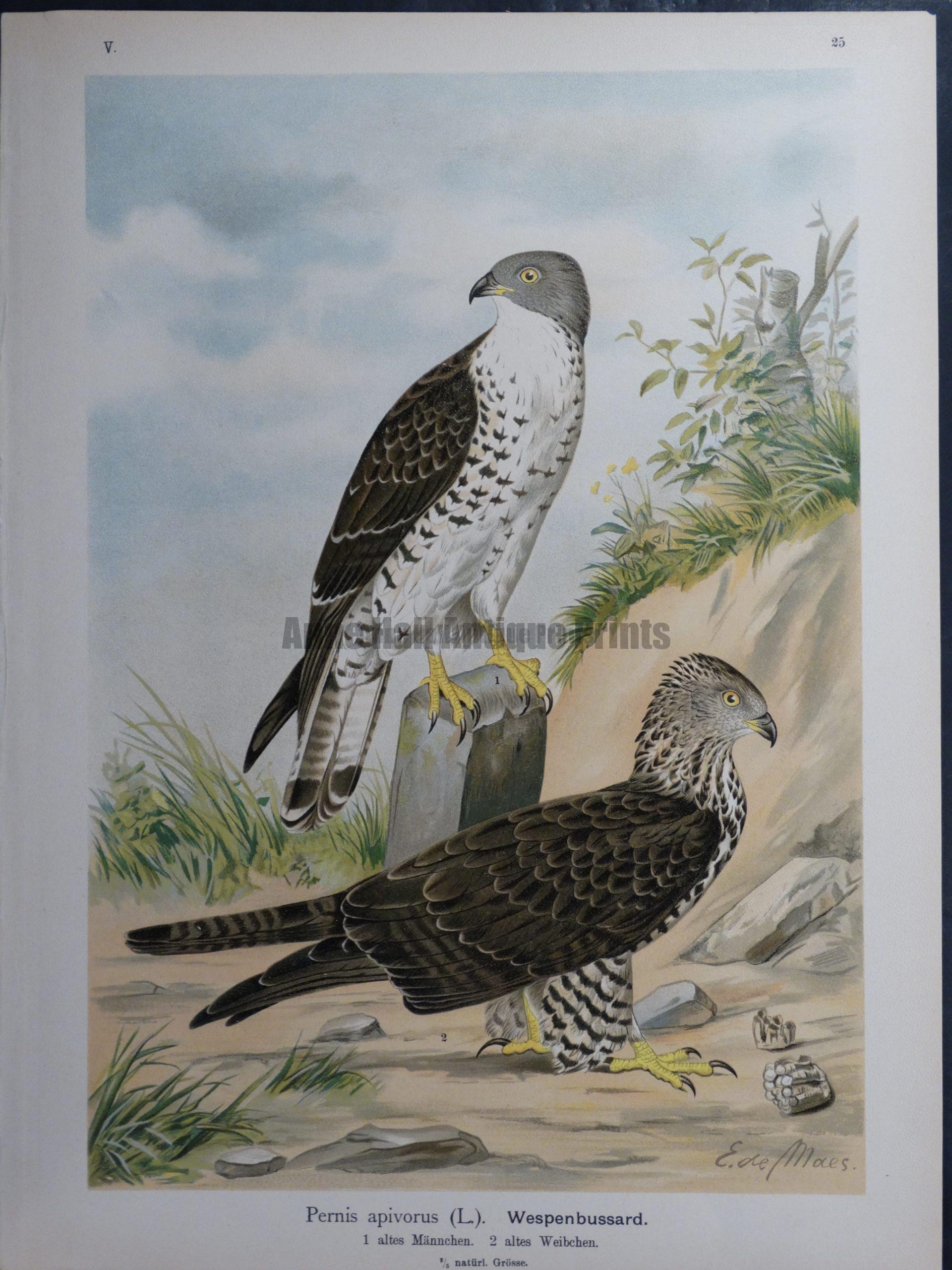 Pernis apivorus, 1895