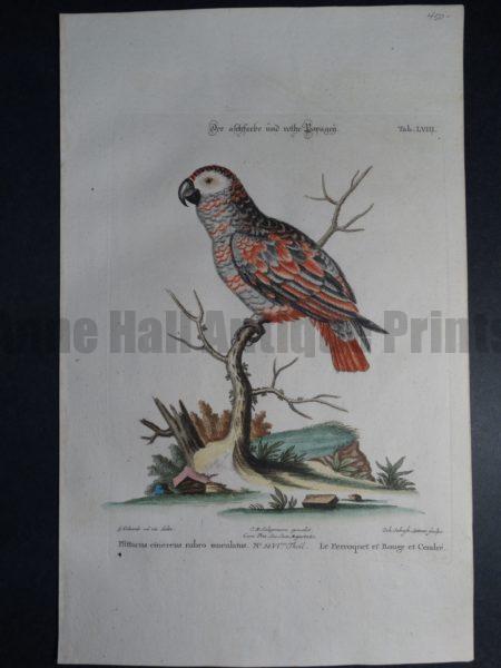 Pfittacus cinereus rubro maculatus Le Perroquet et Rouge et Cendre Tab. LVIII