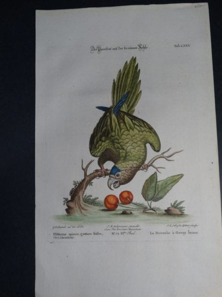George Edwards Parrots:  Pfittacus minor gutture fufco Occidentalis. A wonderful 18th Century depiction of the brown throat green parrot with Cherries by George Edwards.