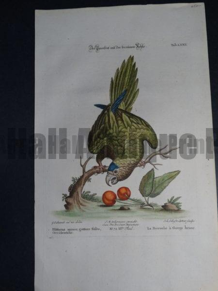 Pfittacus minor gutture fufco Occidentalis. A wonderful 18th Century depiction of the brown throat green parrot with Cherries by George Edwards. $650.