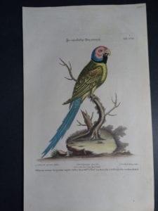 Pfittacus minor torquatus capite rofeo