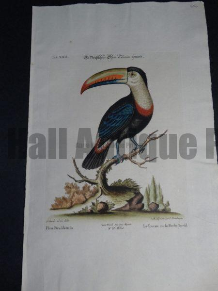 Pica Brasiliensis or Le Toucan ou la Pie du Brasil.  The Great Toucan of Brasil depicted by George Edwards mid 1700's.