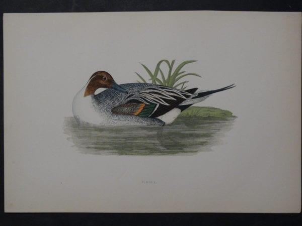 Pintail, 1890. $45.