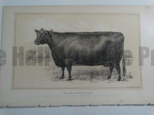 Polled Angus Cow