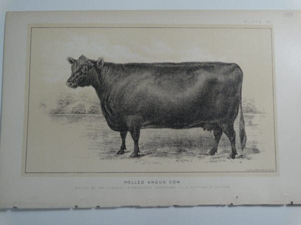 an 1888 lithograph of a Polled Angus Cow