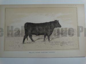 Polled Angus Yearling Favonia