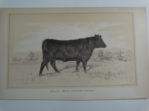 an 1888 lithograph of a Polled Angus Yearling Favonia
