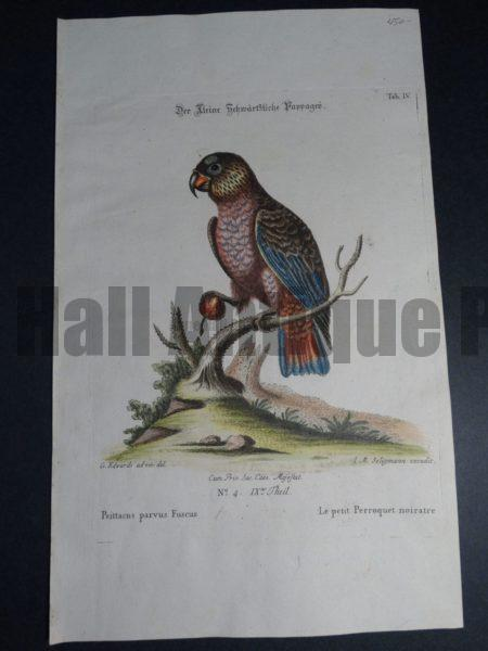 Psittacus parvus Fuscus or petit Perroquet noiratre 18th Century George Edwards engraving