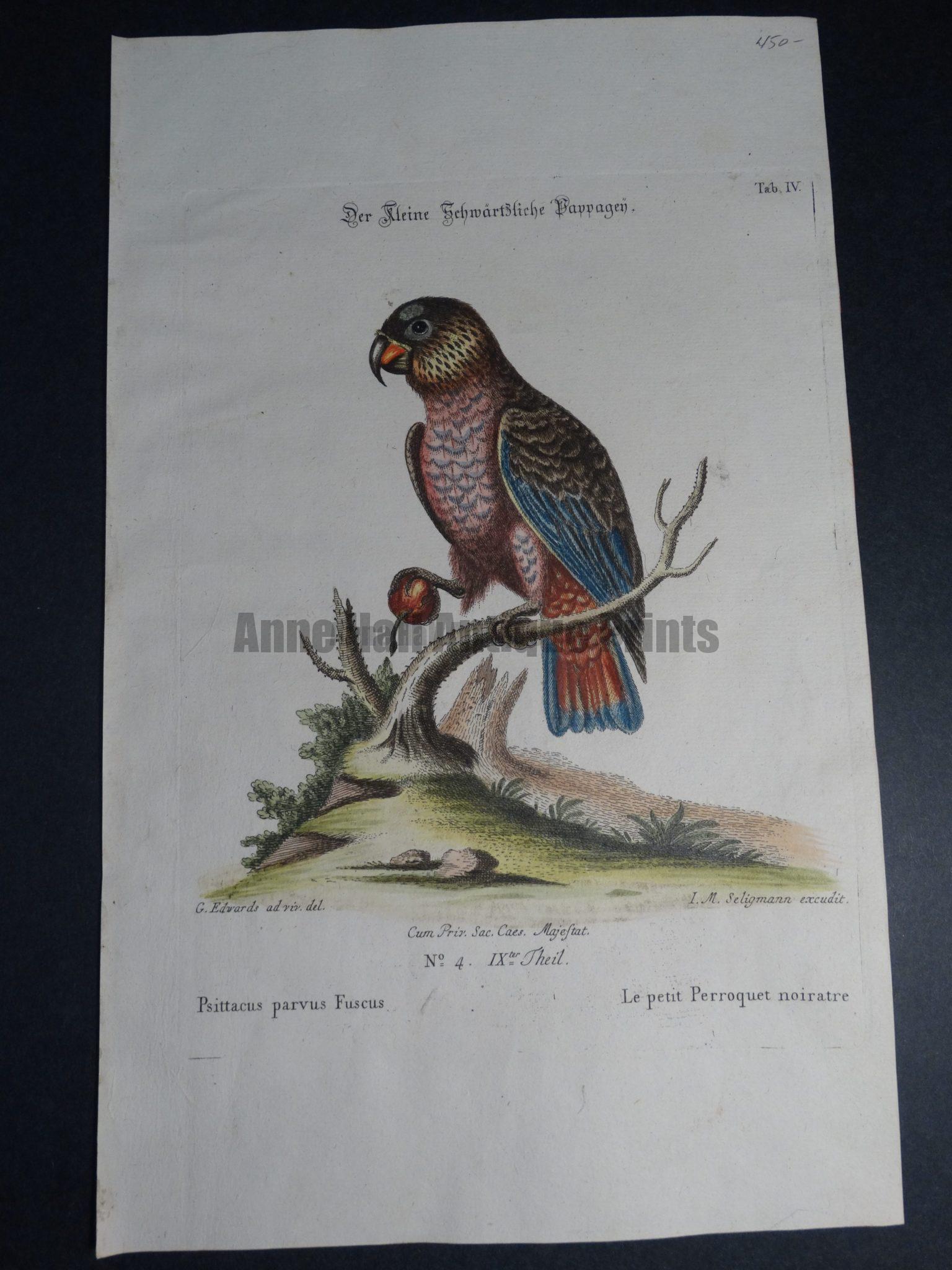 Psittacus parvus Fuscus or petit Perroquet noiratre 18th Century George Edwards engraving $450.