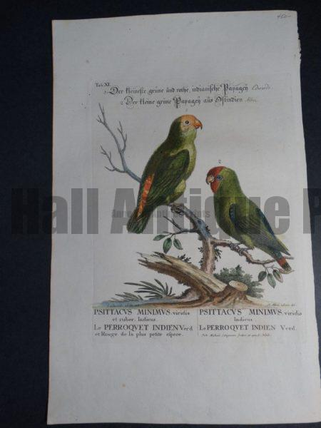 Psittacvs Miniimvs viridis Indeicus, a charming 18th Century hand colored engraving of little green parrots of India by George Edwards