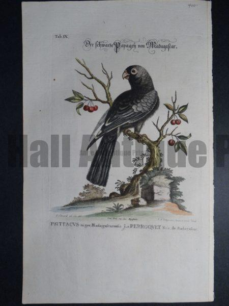 Psittacvs niger Madagafcarenfis Le Parroqvet Noir or Black Parrot