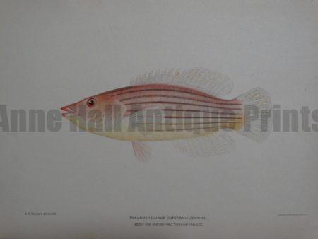 Psuedocheilinus Octotaenia Jenkins, 1903. $60.