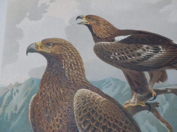 old prints of birds of prey which are more than 100 years old.