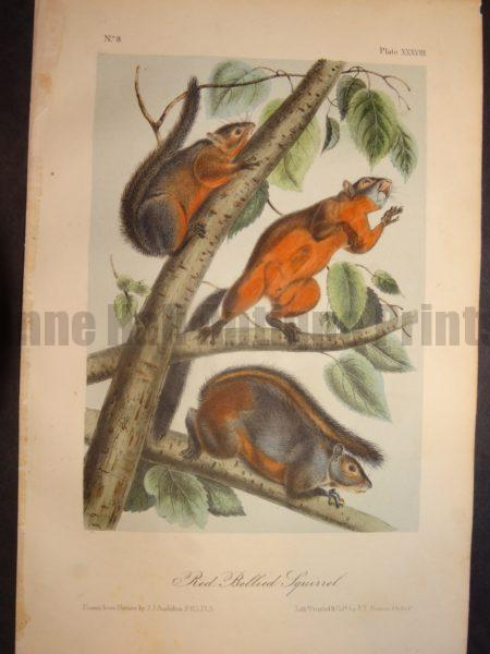Red Bellied Squirrel Print by JJ Audubon 1844, Philadelphia. Plate XXXVIII