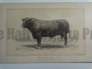 Red Polled Bull