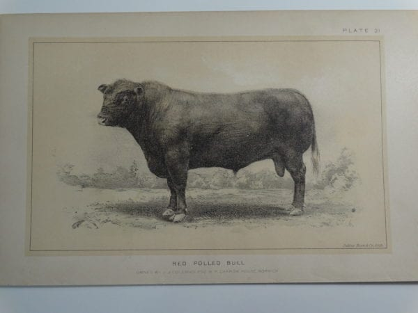 an 1888 lithograph of a Red Polled Bull