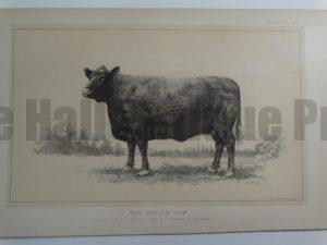 Red Polled Cow