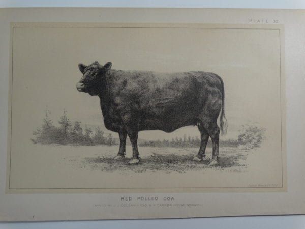 an 1888 lithograph of a Red Polled Cow