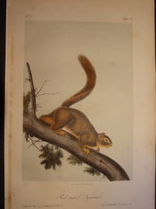 Red Tailed Squirrel