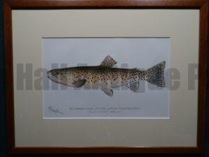 Red Throat Black Spotted or Rocky Mountain Trout by Denton Framed $165. with free US shipping